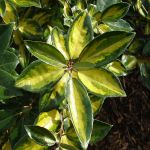 Eleagnus x ebbingei 'Lime Light'