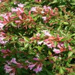 "Abelia chinensis ""Edward Goucher"""