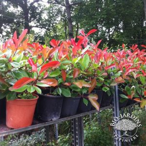 https://www.bio-jardins.com/294-thickbox/photinia-x-fraseri-red-robin-.jpg