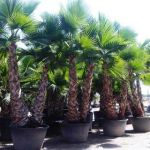 Washingtonia Robusta Multi tronc