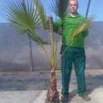 Washingtonia Robusta 1M40/1M80