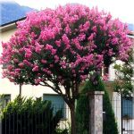Lila des Indes - lagerstroemia indica